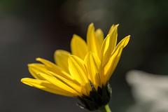 Topinamburblte (Helianthus tuberosus) - Jerusalem artichoke (riesebusch) Tags: berlin garten marzahn