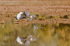Taking flight! (Arizphotodude) Tags: arizona nature water birds animal animals flying wings nikon hawk wildlife birding flight az raptor gilbert nikkor northern avian birdofprey 2012 harrier ariz gilbertaz gilbertriparianpreserve thewildlife riparianpreserve d7k d7000 sigma150500 nikond7000 riparianranchatwaterpreserve brucewolke