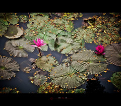 Waterlily (_MaK_) Tags: red flower color reflection green water nikon waterlily lily tone