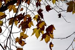 Últimas hojas (ángel mateo) Tags: autumn sky españa brown hoja yellow leaf andalucía spain branches amarillo cielo otoño almería ramas marrón fondón ángelmartínmateo ángelmateo