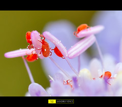 Microcosmos - the red spider [Explore] (Sandro V-R ) Tags: pink red flower macro green colors ball lens spider amazing nikon photographer details micro tamron 90mm cosmos f28 dcr250 polline raynor pistillo d700 sandrovinci