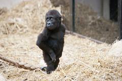 2012-12-15-12h51m59.272P6285 (A.J. Haverkamp) Tags: amsterdam zoo gorilla thenetherlands artis dierentuin shambe canonef70200mmf28lisusmlens httpwwwartisnl pobamsterdamthenetherlands dob04092011