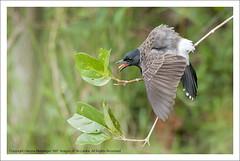 IMG_2955 (Harsha Matarage) Tags: pictures nature birds butterfly asia photos shots pics wildlife snaps srilanka ceylon lk wetland pycnonotuscafer redventedbulbul attidiya harshadesilva harshamatarage