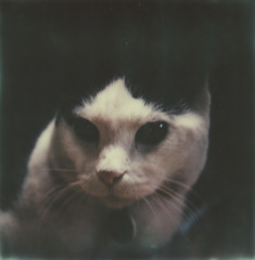 Serious face. (juli) Tags: cats polaroid skylight rocky instantfilm testfilm slr680se colorshade theimpossibleproject v4c px680 colorprotection