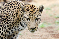 """Leopard in Namibia • <a style=""""font-size:0.8em;"""" href=""""https://www.flickr.com/photos/21540187@N07/8291682883/"""" target=""""_blank"""">View on Flickr</a>"""