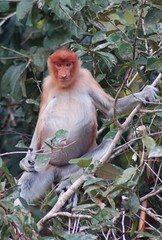 Female Proboscis Monkey along the Kinabatangan River (clear_eyed_man) Tags: travel malaysia borneo kinabatangan proboscismonkey