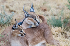 """Caracal in Namibia • <a style=""""font-size:0.8em;"""" href=""""https://www.flickr.com/photos/21540187@N07/8292739996/"""" target=""""_blank"""">View on Flickr</a>"""