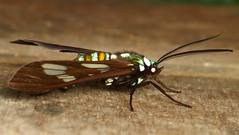 Wasp Moth, Phaeo acquiguttata, Ctenuchidae (Andreas Kay) Tags: naturaleza macro southamerica nature fauna butterfly ecuador wildlife natur moth lepidoptera papillon inseto equateur makro mariposa arthropoda insetto insecte schmetterling eq