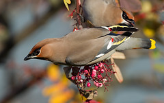 Waxwing - Chilwell