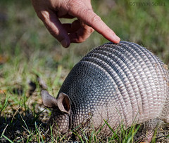 Touching Armadillo (Steven Sobel) Tags: nature nikon florida finger wildlife touch trail tamron armadillo lehigh palmcoast d7000 70300vc