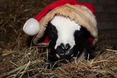 a PEACEFUL CHRISTMAS TO EVERYONE   (Explore # 69 22-12-2012 Thanks !!! (excellentzebu1050) Tags: closeup farm birth explore lamb lambs thegalaxy explored animails takenwithlove lambbirth 100commentgroup coth5 mygearandme thegoldenachievement rememberthatmomentlevel1