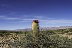 -Cardon . Argentina (courregesg) Tags: cactus flower argentina andes altiplano cardon puna the4elements