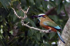 Pjaro Toh (Daniel Salinas Crdova) Tags: maya selva pjaro toh danielsalinas pjarotoh surestemexicanomxicopennsuladeyucatnbird danielsalinascrdova