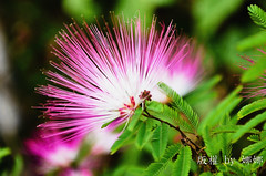 Swaying  Pink Flower    ( Nana) Tags: life pink light flower green colors colorful natural taiwan  taiwan beautifulflower