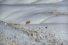 Old Number 10 (Deby Dixon) Tags: travel nature landscape photography nationalpark wolf wildlife moose fox yellowstonenationalpark wyoming bison wyo bullelk debydixonphotography