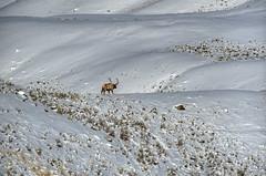 Old Number 10 (Deby Dixon) Tags: travel nature landscape photography nationalpark wolf wildlife moose fox yellowstonenationalpark wyoming bison wyo bullelk debydixonphotography