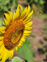 Sun and Nectar yum (Minali Liyanage) Tags: macro green nature leaves yellow thailand petals bees insects seeds sunflower nectar pollen lopburi theearth sunflowerfields