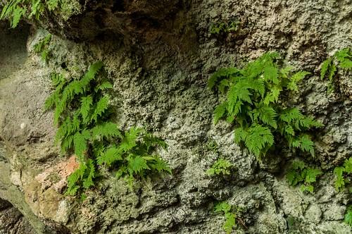 Les Capricorn Cave abritent une variété de fougère unique au monde : la Tectaria Devexa.