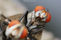 Housefly (Anthony Kei C) Tags: housefly diptera muscidae