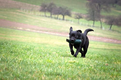 Black Labrador Retriever Lotte