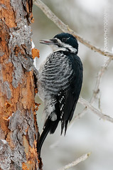 Arctic Three-toed Woodpecker (Ralf Nowak) Tags: woodpecker arctic blackbacked threetoed picoides arcticus