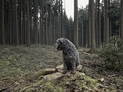 Benni 468 (Joerg Marx) Tags: dog forest hund wald highqualitydogs highqualityanimals