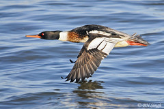 Red-breasted Merganser (BN Singh) Tags: ocean new light sea wild bird beach nature fly flying jetty flight nj jersey barnegat redbreasted merganser