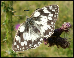 Marbled White (Kevin Pendragon) Tags: 1001nights charterhouse 1001nightsmagiccity unlimitedinsectslevel1 unlimitedinsectslevel2
