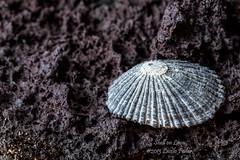 Shell on Lava (laszlofromhalifax) Tags: usa macro beach closeup island hawaii lava pacific shell sharp hawaiian tropical bigisland aa