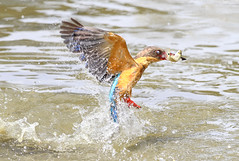 Smoking gun (kampang) Tags: fishing fim storkbilledkingfisher pelargopsiscapensis highspeeddive storkbilledfishing