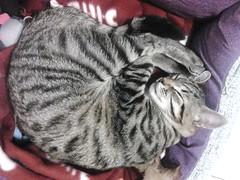 Lui ora dorme, ma dopo ..... (My Way2008) Tags: cat felino gatto edi dorme duma flickrandroidapp:filter=none