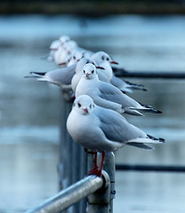 In Focus (oldt1mer) Tags: one eyes focus dof gulls sony beak feathers line sthelens taylorpark a65 mygearandme mygearandmepremium mygearandmebronze mygearandmesilver mygearandmegold sonya65 slta65 rememberthatmomentlevel4 rememberthatmomentlevel1 rememberthatmomentlevel2 rememberthatmomentlevel3 rememberthatmomentlevel5 rememberthatmomentlevel6