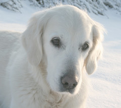 White is pure and calming (Ingrid0804) Tags: winter white snow goldenretriever unconditionallove whiteispureandcalming