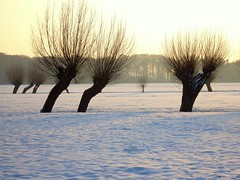 Typical Dutch winter landscape with willows (Frans.Sellies) Tags: trees winter snow netherlands landscape day nederland clear willow willows landschap wilg wilgen knotwilg salixalba abigfave p1510448