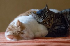 Willow & Harry (No_Water) Tags: sleeping cat ginger tiger iso6400