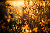 Shimmer of Hope (moaan) Tags: life winter sun sunlight 50mm dof bokeh f14 january wither utata alive withered deadflower stillalive ef50mmf14usm 2013 inlife canoneos5dmarkiii