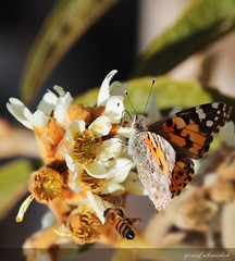 Butterfly, bee and the loquat flower (Yousef Aisheh) Tags: flower macro tree closeup butterfly flying bee       loquat