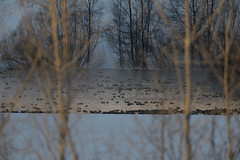 Pond_40344.jpg (Mully410 * Images) Tags: trees winter snow cold bird ice birds fog pond birding fowl waterfowl birdwatching birder tcaap ahats burdr ardenhillsarmytrainingsite