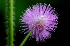 Purpley thing (adampop) Tags: flower beautiful canon purple nz mimosapudica aucklandbotanicalgardens 5dmkii