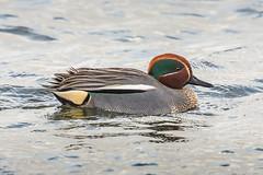 Male teal (scyrene) Tags: brown white lake black green bird water grey duck teal martonmere stackedteleconverters
