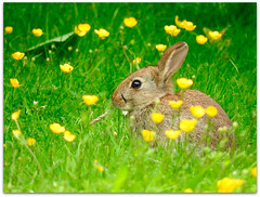 Summer baby loves buttercups and grass! (macfudge1UK) Tags: nature 2016 animal england fauna gb greatbritain mammal oxfordshire oxon uk bbcsummerwatch summer nikon coolpix coolpixp610 p610 nikoncoolpixp610 britain ©allrightsreserved britishwildflowers feeding food foraging grass rabbit wildrabbit wildlife young buttercups flowers blooms kit baby oryctolaguscuniculus flora naturethroughthelens fantasticnature