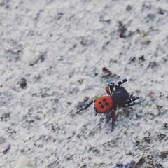 Male ladybird spider / Rote Röhrenspinne, Männchen (Eresus kollari), Germany