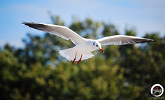 Seagull Soaring (7716galaxy) Tags: nature colors animals macro sea beach zoo park mushrooms tortoise chameleon mouse turtle boat sun sky water flying baltic