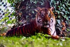 Tiger (JKmedia) Tags: paigntonzoo boultonphotography bigcats feline zoo captivity tiger pantheratigrissumatrae stripes profile n15c mammal