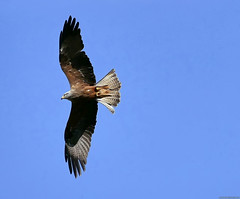 Eagle (Nemodus photos) Tags: fz1000 aigle eagle rapace rapacious bif birdinflight bird oiseau birdofprey