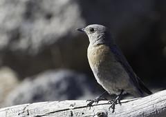 Western Bluebird (Sialia mexicana) (Wandering Sagebrush) Tags: westernbluebirddsc2341 westernbluebird sialiamexicana centraloregon
