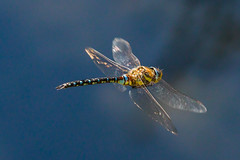 Dragonfly (PIX SW) Tags: coombehillnrcheltenham dragonfly migranthawker