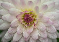 Tears of Joy (sunrisesoup) Tags: dahlia volunteerpark capitolhill seattle wa usa displaygarden nexc3