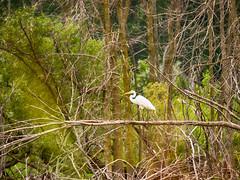 _8110207 Walking The Plank (Charles Bonham) Tags: greategret midlandmi bird waterbird swamp wetlands trees deadtrees water brush nature white olympusomdem1 charlesbonhamphotography