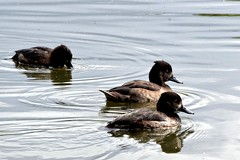 Tufted Ducks at Fleet Pond (c.marney) Tags: tufted duck